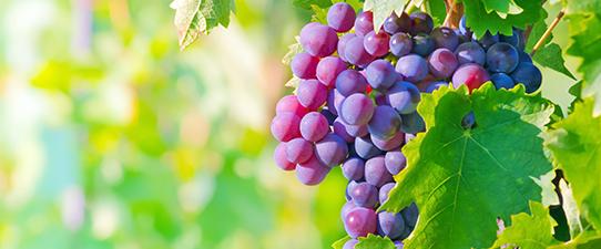 Cooperativas gaúchas têm cinco vinhos entre os 100 melhores do mundo