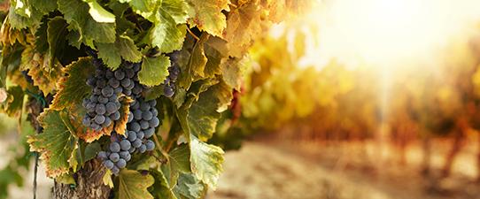 Cooperativa Vinícola Garibaldi abre oficialmente a safra da uva 2018/2019