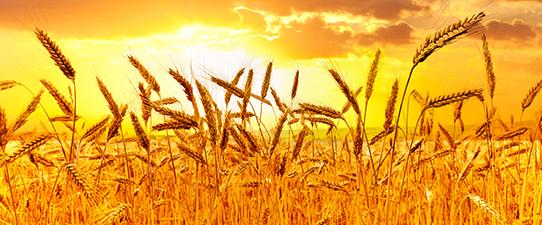 Cooperativas alinham perspectivas para safra gaúcha de trigo