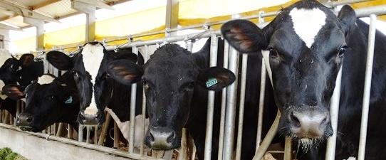 Languiru bonifica associados com incremento na produção leiteira