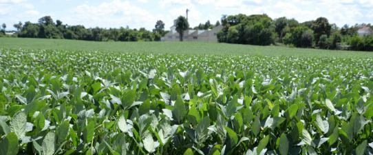 Cooperativa Languiru disponibiliza quatro pontos de recebimento de soja