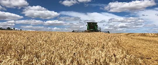 Cooperativas agropecuárias gaúchas estimam safra positiva de trigo